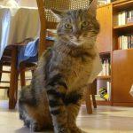 Olivette chatte tigrée 5 ans, bavarde et exclusive aimerait vivre dans un foyer sans autre chat.
