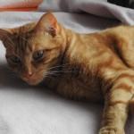 URGENCE pour le beau Caramel, mâle tabby roux de 1 an qui a besoin d'un adoptant très patient, sans autre animal et si possible un jardin ! téléphonez au 06 75 26 84 24 pour plus de renseignements