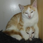 MELI et MELO, 2 mâles roux et blancs de 4 mois très craintifs