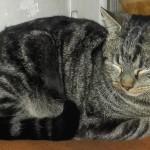 NESTOR, mâle tigré, 2 ans.  Depuis qu'il a été opéré d'une hernie, son comportement a beaucoup changé et il partage le quotidien des 5 autres chats de la famille d'accueil où il est actuellement. Mais il aimerait beaucoup avoir des maîtres et une maison pour lui.